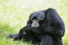 Symphalangus Siamang Gibbon syndactylus Stockbilder
