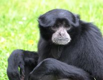Symphalangus Syndactylus Or Siamang Royalty Free Stock Images