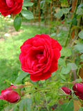 Symphatie Roses Royalty Free Stock Image