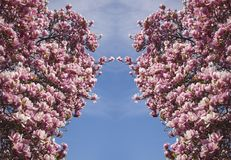 Symphonie de fleur de magnolia photos stock
