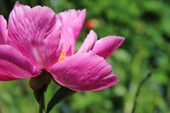 Symphonie magnifique de fleur et de rose Images libres de droits