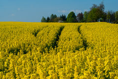 Symphonie in yellow. Flowering rapefield under blue sky, green trees in the background royalty free stock photography