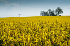 Symphoniy in yellow. Flowering rapefield under blue sky, green trees in the background, clouds, foreground sharp, high voltage, pylon royalty free stock photography