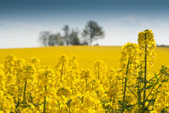 Symphony in yellow (3). Flowering rapefield under blue sky, green trees in the background, clouds, foreground sharp Royalty Free Stock Image