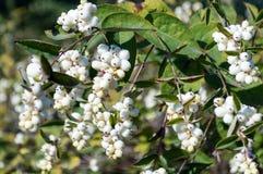 Symphoricarpos albus berries Royalty Free Stock Image