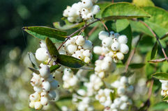 Symphoricarpos albus berries Stock Images