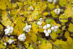 Symphoricarpos albus (Common snowberry). Branches with berries and yellow leaves Royalty Free Stock Photos