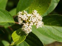Symphoricarpos albus laevigatus  -  common snowberry Stock Photos