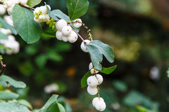 Symphoricarpos albus laevigatus - common snowberry plant Royalty Free Stock Photos