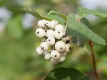 Symphoricarpos albus laevigatus  -  common snowberry Royalty Free Stock Photo