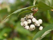 Symphoricarpos albus laevigatus  -  common snowberry Stock Images