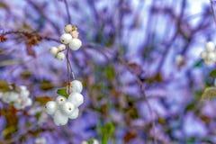 Symphoricarpos albus Pospolitego Snowberry roślina z białymi jagodami zdjęcie stock