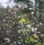 Symphoricarpos albus - snowberry Stock Images