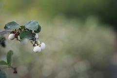 Symphoricarpos albus - snowberry Stock Photography