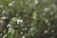 Symphoricarpos albus - snowberry Royalty Free Stock Photography