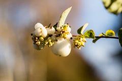 Symphoricarpos albus - white snowberry Royalty Free Stock Photography
