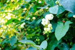 Symphoricarpos, commonly known as the snowberry, waxberry, or gh Royalty Free Stock Photo
