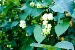 Symphoricarpos, commonly known as the snowberry, waxberry, or gh Stock Image