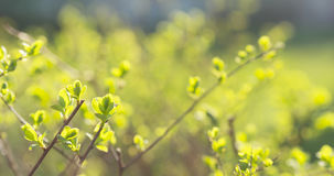 Symphoricarpos leaves in sunny spring day Royalty Free Stock Images