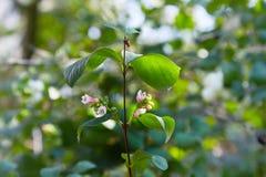 Symphoricarpos. Shrub with decorative white berries. stock photo
