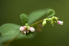 Symphoricarpos Stock Photography