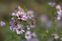Symphyotrichum novae-Angliae Στοκ φωτογραφία με δικαίωμα ελεύθερης χρήσης