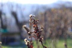 Symphyotrichum novae-angliae Royalty Free Stock Photo