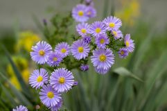 Symphyotrichum novae-angliae Michaelmas daisy in bloom, autumn ornamental herbaceous perennial plant stock image