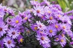 Symphyotrichum novi-belgii New York aster ornamental autumn plant in bloom. Purple flowers stock photography