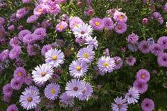 Symphyotrichum novi-belgii Nowy Jork asteru jesieni ornamentacyjna roślina w kwiacie Zdjęcia Royalty Free