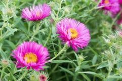 Symphyotrichum novi-belgii Nowy Jork asteru jesieni ornamentacyjna roślina w kwiacie Obraz Stock