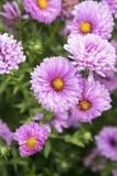 Symphyotrichum novi-belgii Nowy Jork asteru jesieni ornamentacyjna roślina w kwiacie Fotografia Royalty Free
