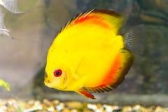 Symphysodon aequifasciata haraldi in aquarium Stock Photos