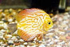 Symphysodon aequifasciata haraldi in aquarium Stock Photography