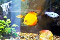 Symphysodon aequifasciata haraldi in aquarium Royalty Free Stock Photography