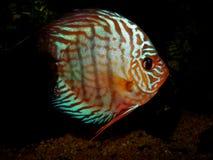 Symphysodon-aequifasciatus Lizenzfreie Stockfotografie