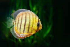 Symphysodon-aequifasciatus, blauer Diskus, Fisch im Wasser Fischen Sie im Naturflusslebensraum, grüne Vegetation, Amazonas, Brasi stockfotografie