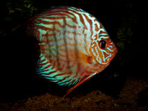 Symphysodon aequifasciatus Royalty Free Stock Photography