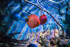Symphysodon discus in an aquarium on a blue background Stock Image