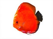 Symphysodon discus aquarium fish royalty free stock images