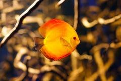 Symphysodon discus aquarium fish stock images