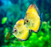 Symphysodon discus Royalty Free Stock Photo