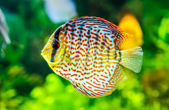 Symphysodon discus Royalty Free Stock Images