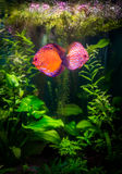 Symphysodon discus Royalty Free Stock Photos