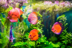 Symphysodon discus Stock Photography