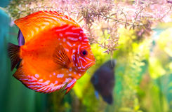 Symphysodon discus Royalty Free Stock Photography