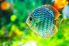 Symphysodon discus Stock Photos