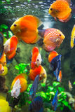 Symphysodon discus in an aquarium. On a green background Royalty Free Stock Image