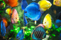 Symphysodon discus in an aquarium Royalty Free Stock Photos