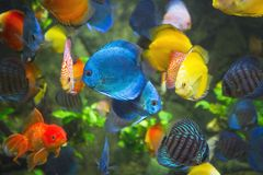 Symphysodon discus in an aquarium Royalty Free Stock Images